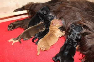 Est Amicus kennel A-Litter are born in 15.04.15